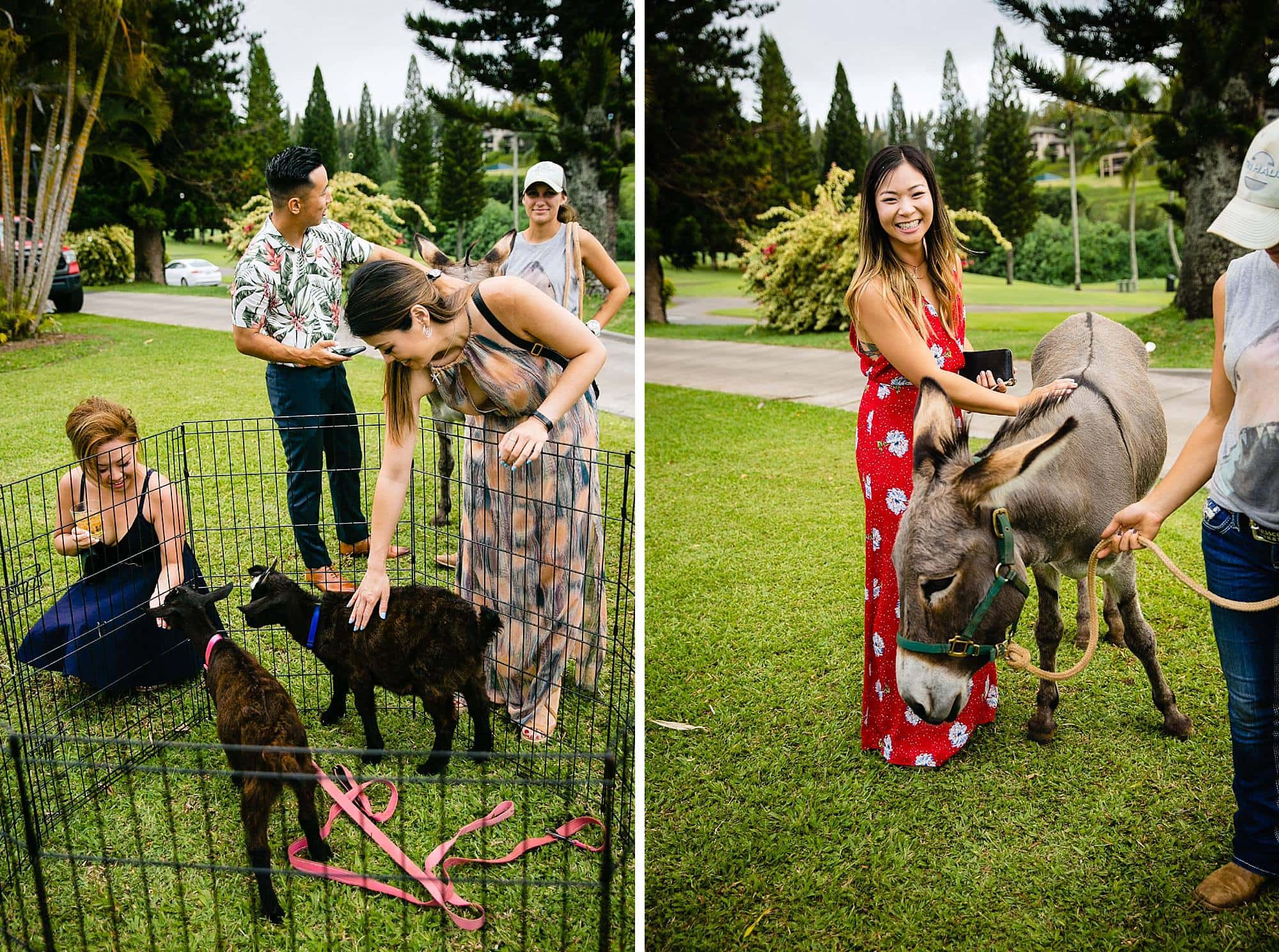 live animals at cocktail hour at Steeple House Kapalua