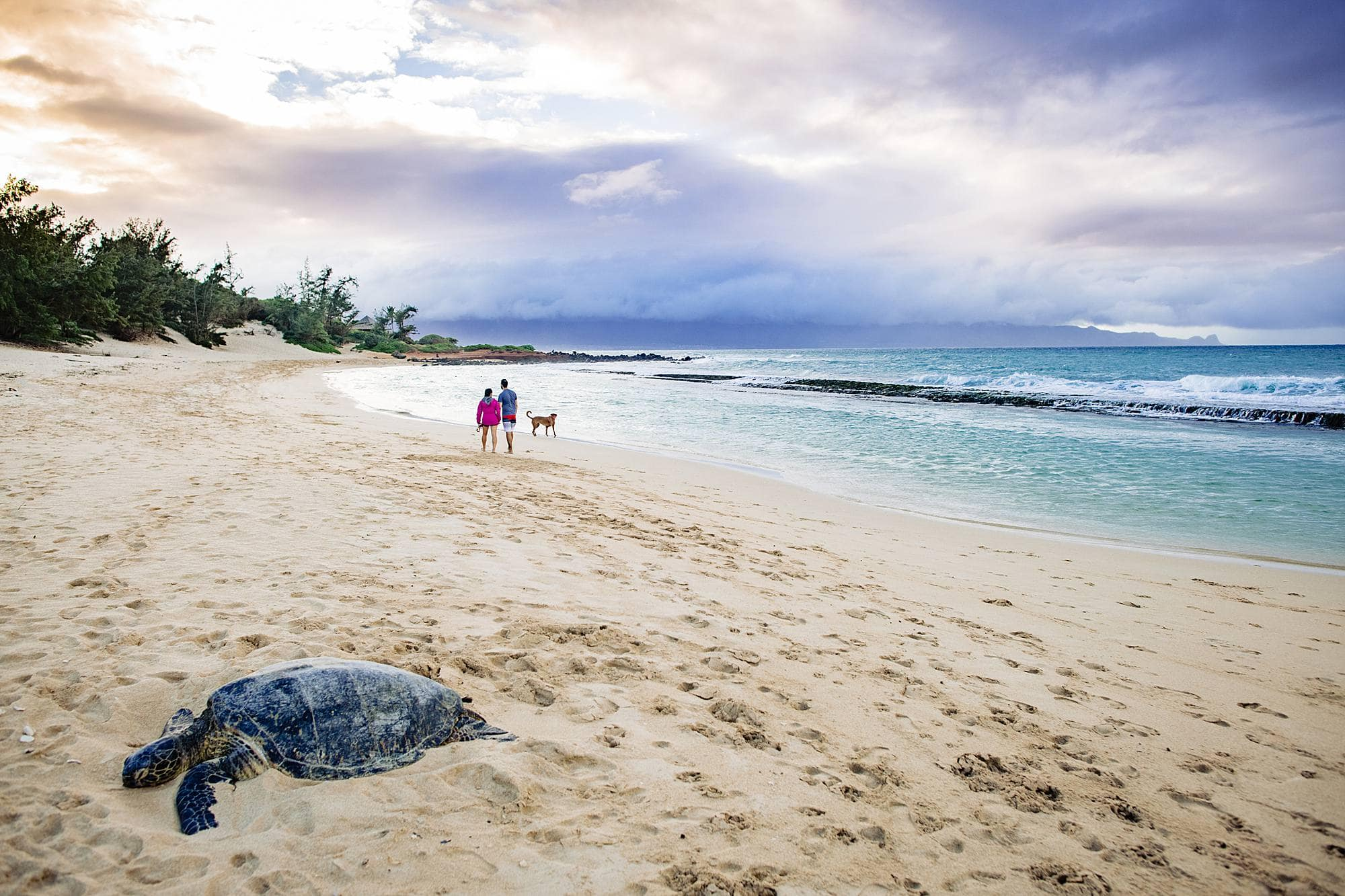 walking on a beach in maui with a turtle
